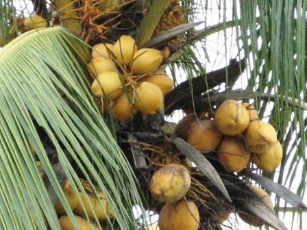 Coconuts. - Bunches of juicy yellow coloured coconuts waiting to be harvested.  They normally used a trained monkey to get the job done. At a cheap cost as well. After all, the monkey is cheap labour - eats bananas only.