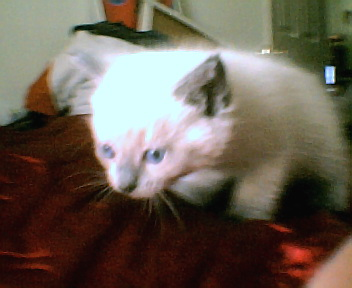 Annabell - Kitten