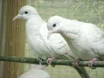 Pretty arn;t they? - I love my doves, but just can't tell the difference in their gender.