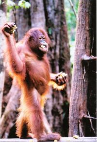 orangutan - orangutan is species of apes..