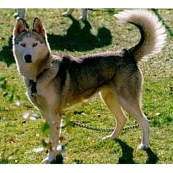 Siberian Husky - Siberian husky dog breeds
