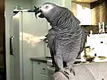 parrot - mimicking sounds