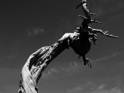 Gnarled Tree in Lavafield in Oregon - This photo was taken this past summer 2006 with a digital Olympus c-7000.  I used a polarizing filter when shooting but have not altered the original image in any way.  The black and white contrast reminds me of what Ansel Adams was able to capture.  I hope you like it!