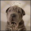 I'm a Gold Digging Princess - Sharpei wearing a tiara
