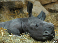 the first rhino baby. - The picture of frist rhino baby for the Hungary Zoo.