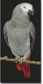 African Grey parrot - African Grey parrot -  a fine specimen