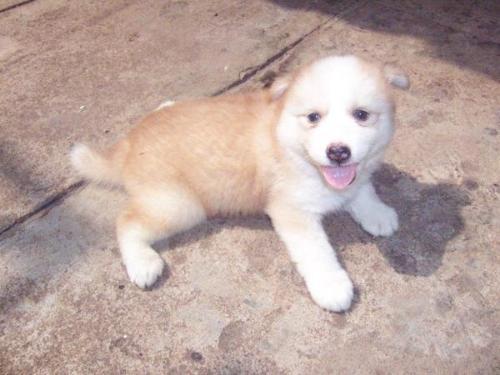 Gula, My Puppy - hoyoyo...