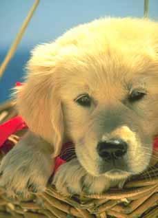 muffin - golden puppy