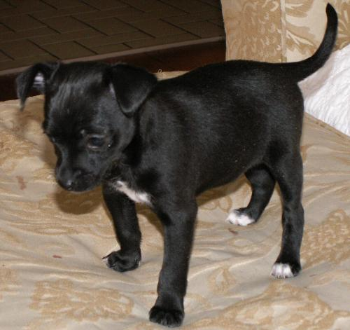 Bella 6 wks - This is Bella at 6wks old.  She is just starting to eat solid food.  She now knows her name and her brothers name, Shadow.
