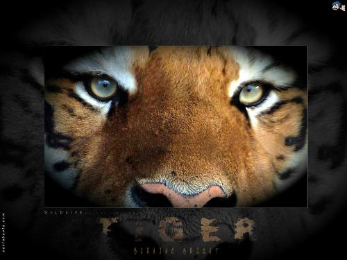 tiger - tigers, the king of jungle