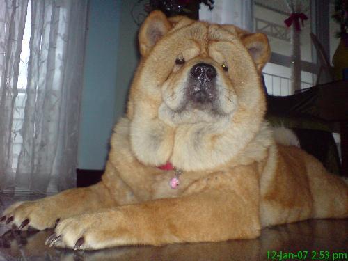 My Chow Kimber - I love this Dog!!!!