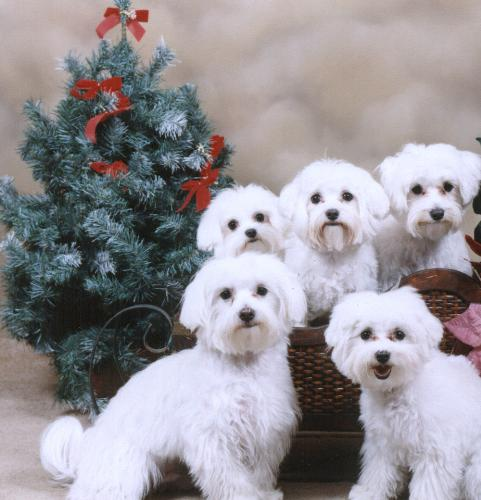 puppies and dogs together. Tags: dogs! , maltese puppies