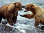 angry - bear attack