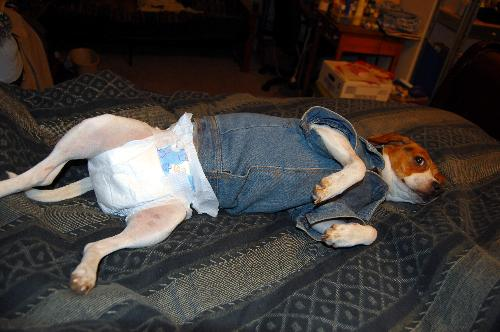 click to enlarge - This is my dog KC in diapers because she is in heat
