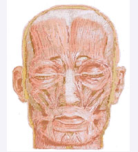 face anatomy - an illustrating picture for muscles of the face