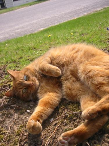 My Neighbor's cat Mugsi - This is a picture of my neighbor's cat mugsi, who's always up for a little back rub!