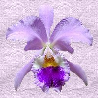 orchid - This is a photo a friend sent to me. igrow this type as well