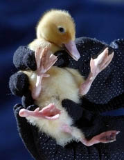 Stumpy the four-legged duck - A tiny duckling named Stumpy from England with four legs.