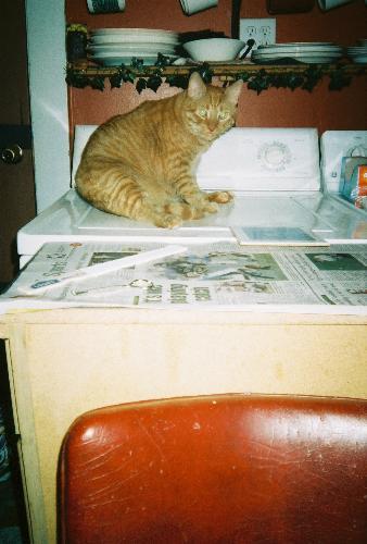 Tigger - orange cat