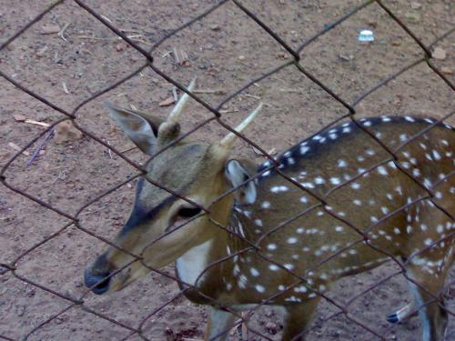 deer - deer in zoo