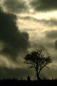 Storm Clouds Gathering - Picture of a tree silhouetted against storm clouds gathering