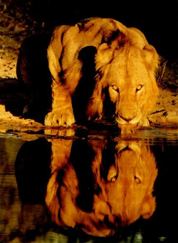 The Lion King - Most ferocious, drinking water in a pond!