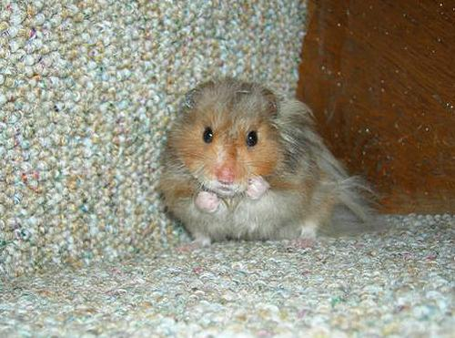 "cute overload - put up your dukes hamster - I found this picture at www.cuteoverload.com and loved it. It's the""put-up-your-dukes"" hamster!"