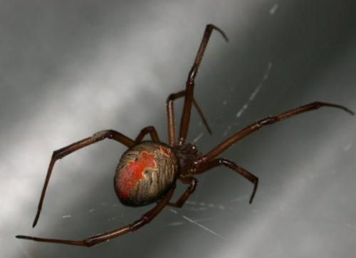Yucky Spiders - A revolting Redback Spider.