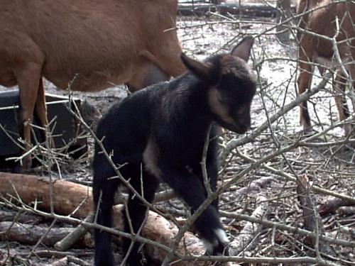 "Polunu - This is Polunu, a Hawaiian name meaning ""chubby"". He is mostly Pygmy and is one of the last bucklings to be born out of my first goat, a Pygmy buck named Snapper. In this picture he is climbing on a fallen branch that he discovered in the nursery pasture after a bad rainstorm. He is not the most lovable baby in the pasture right now but he loves to have his chest scratched."