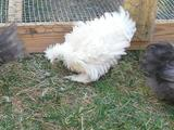 Frizzle Chicken - Our Frizzle Feathered Silkie/Cochin cross, Rigoletto. Always fun to watch his antics. He was still a youngster in this photo.