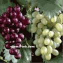 Grap!!!!!!!! - Juicy Graps.........