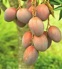 Mango - Mango is delicious