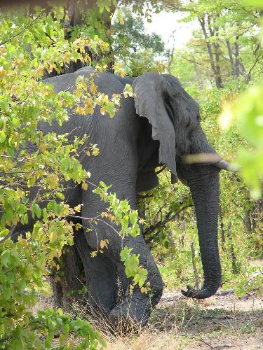 African Elephant - This was a photo taken at Tanzania