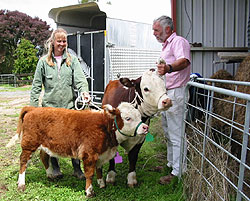 Miniature Cows are a great