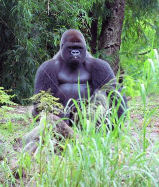 Gorila anthropoid - The biggest anthropoid is the gorila