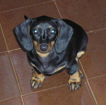 dachshund - my adorable one - This is my sweetie, her name is Larry :}