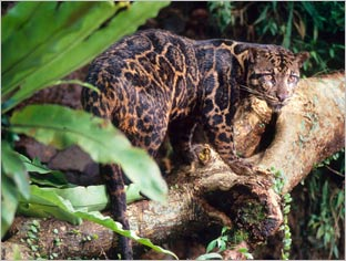 clouded leopard - New species found in Borneo