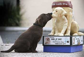 Guide Dogs - Eight week old Tizer has a sponsor for his training, the Advertiser. But many like him urgently need puppy trainers.