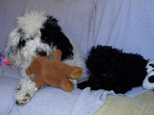 My two poodles  - Secret is black and white. Magic is black.