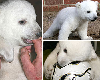 Baby Polar Bear - Is he to be killed, because he was rejected by his Mother, & hand reared by a zoo keeper? In the Wild, he would be, but he wasn't born in the wild, he was born in an environment of human reaction.