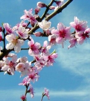 Peach Blossoms - What a fragrant gift my child presented me with this afternoon. Peach Blossom Twig. While I do not encourage the picking of flowers and such - the tree is so laden with blossoms, it will probably help the fruit to develop to thin it out some.