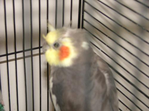 birds - My saved Cockateil.....