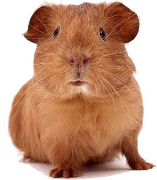 How much is your life worth? - A picture of a cute, adorable guinea pig.