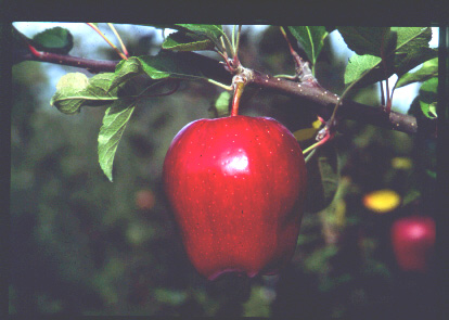 apple - red delicious apple