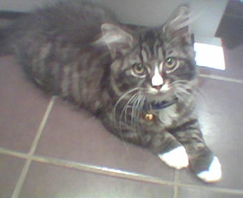 Boots my tabby - He is my gorgeous prince :)