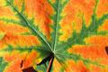a leaf - a coloured leaf