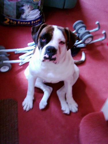 Our Missy - She is so big but really loving. Our missy is a 4 year old American bulldog