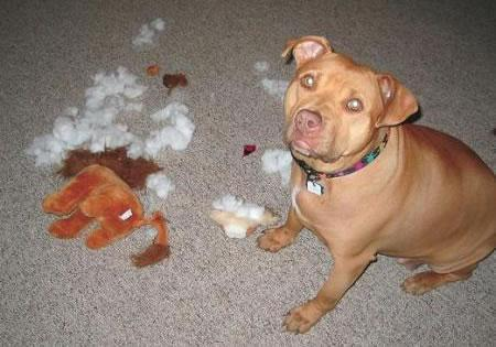 Untrained Dog - An untrained dog can be trouble to the household.