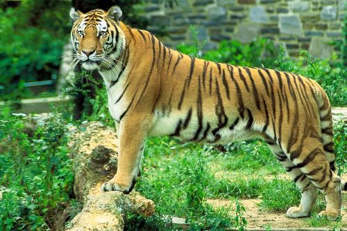 Panthera tiger - Panthera tiger in zoo