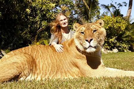 Liger - This is a cross breed between a lion and a tiger